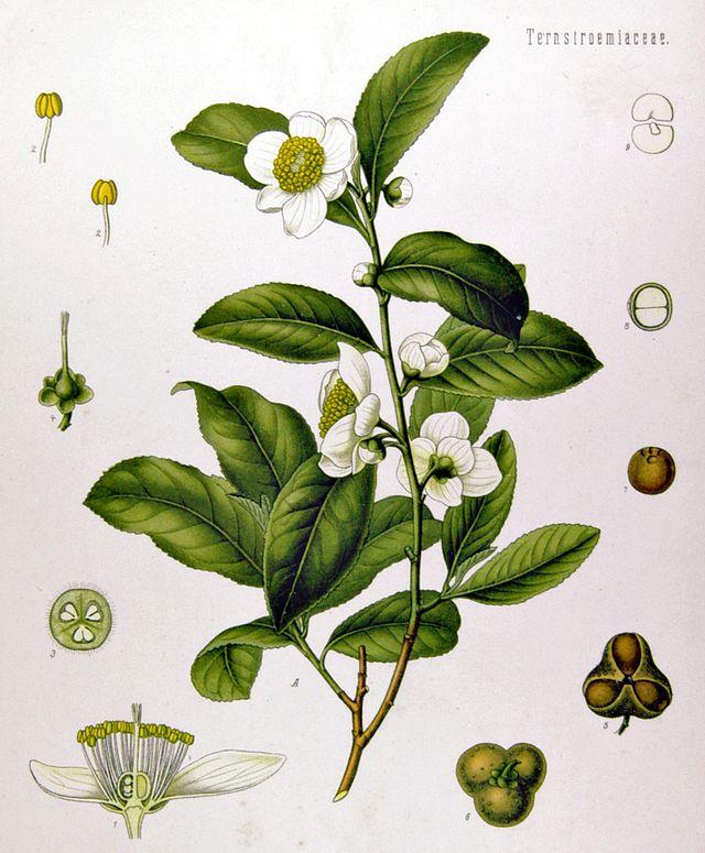 Caffeine (Camellia sinensis)