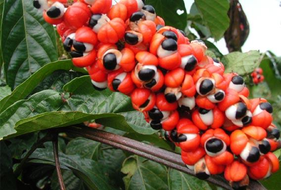 Caffeine (Guarana)