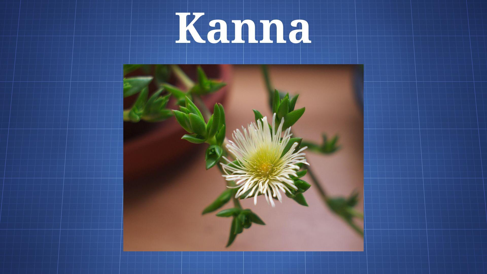 Sceletium tortuosum (Kanna) - The Drug Classroom