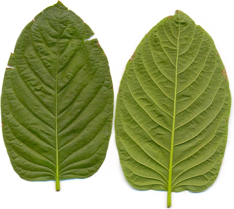 Mitragyna speciosa (Kratom)