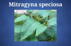 mitragyna-speciosa
