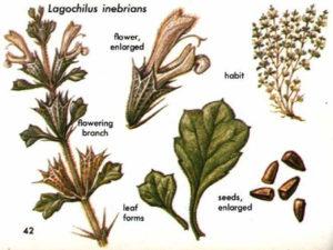 Lagochilus inebrians