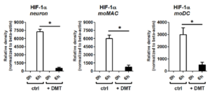 DMT's effect on HIF-1a expression during hypoxia